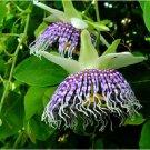 BULK PASSIFLORA ACTINIA edible fruits rare 500 seeds