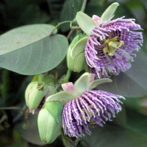 PASSIFLORA LIGULARIS Sweet grenadilla 50 seeds