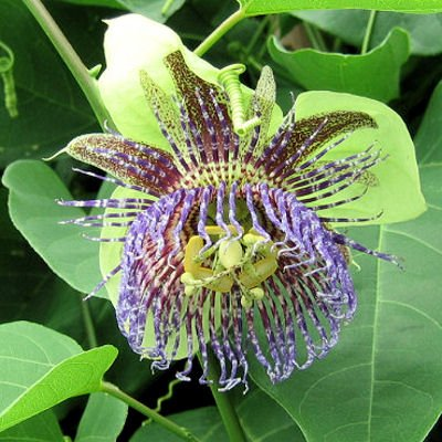 BULK PASSIFLORA MALIFORMIS Rosy passion vine 500 seeds