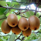 KIWI FRUIT   ACTINIDIA CHINENSIS 2000 seeds