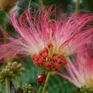 SILK TREE  ALBIZIA JULIBRISSIN 100 seeds