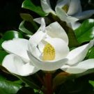 BULK Southern Magnolia, Magnolia grandiflora 500 stratified seeds