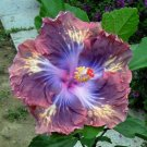 Dinnerplate Hibiscus 'Brazen Steed' perennial 10 seeds
