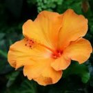 Yellow Hibiscus syriacus perennial 10 seeds