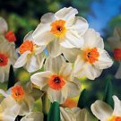 Daffodil Geranium package of 50 WILL SHIP SEPTEMBER UNTIL NOVEMBER