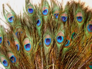 """100 Natural Peacock feathers w Blue Green Eyes 30-35"""" L"""