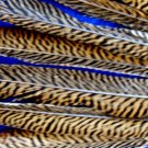 "Golden Pheasant Barred Tail Feathers 16-18 "" Pkt of 100"