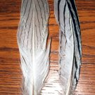 "Silver Pheasant Feathers 6-8"" Pkt of 12"