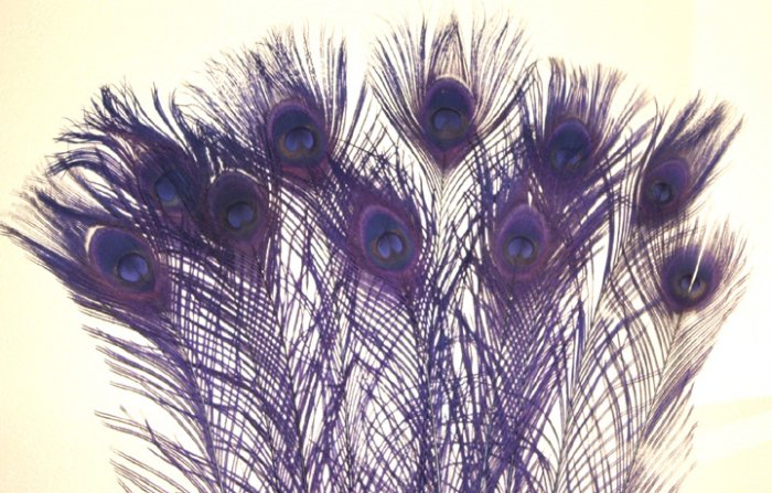 "10 Peacock Feathers w Eyes Dyed Regal Purple 10-15"" L"