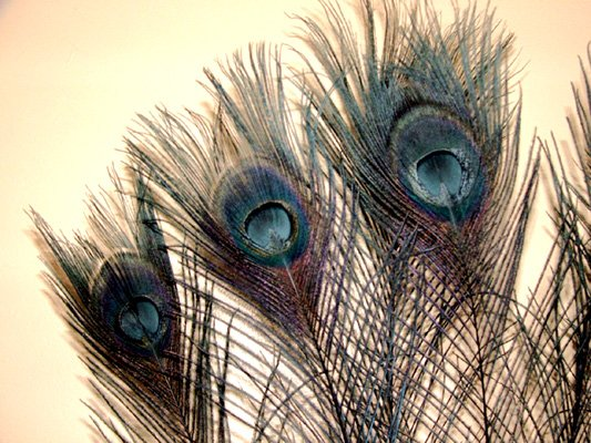 """10 Peacock Feathers w Eyes Dyed Black 10-15"""" L"""