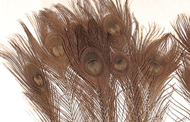 "10 Peacock Feathers w Eyes Dyed Brown 10-15"" L"