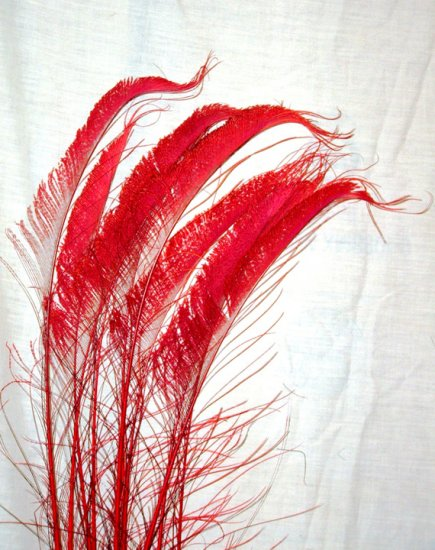 """50  Peacock Sword Feathers Bleached & Dyed RED  20-25"""" L"""