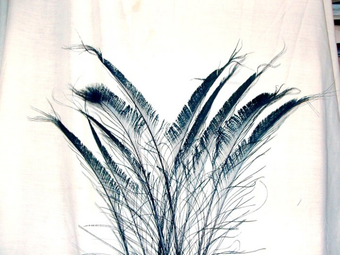 "50 Peacock Sword Feathers Bleached & Dyed BLACK 20-25"" L"