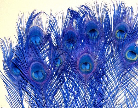 "100 Peacock Eye Feathers ROYAL BLUE 10-15"" L bleached & dyed"