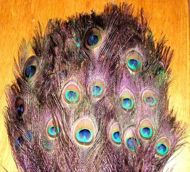 "Peacock eye feathers Stem Dyed 100 PLUM PURPLE L 30-35"""