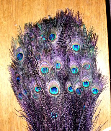 Peacock eye feathers Stem Dyed 100 REGAL PURPLE L 30-35""