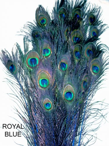 """Peacock eye feathers Stem Dyed 100 ROYAL BLUE  L 30-35"""""""