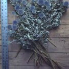 Dried Flowers-Blue Globe Thistle - Echinops