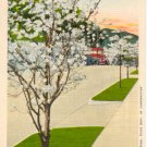 Springtime Dogwood trees in Bloom  Main St, Gatlinburg, TN  Postcard   #0214