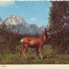 Buck Mule Deer in Velvet  Postcard Mountain Scene #0087
