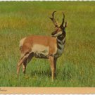 Pronghorn Antelope on the American Prairie Chrome Postcard #0092