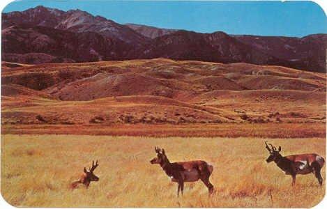 Antelope on the Prairies of Wyoming Postcard #0089