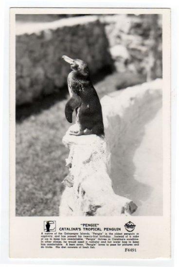 """PENGIE"" Catalina's Tropical Penguin Catalina Bird Park CA Postcard RPPC Frashers #0302"