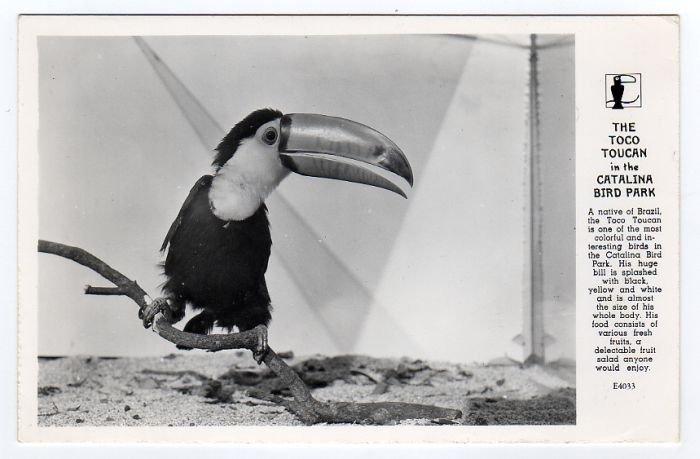 TOCO TOUCAN Catalina Bird Park CA Postcard RPPC Frashers #0304