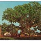 The Wye Oak and Schoolhouse  Wye Mills, MD postcard c. 1950s    #0386