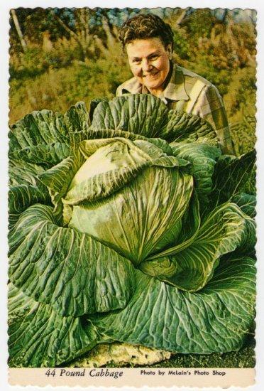 "44 Pound Cabbage Palmer, Matanuska Valley, Alaska Plastichrome Postcard ""alaska joe"" ORIGINAL #0411"