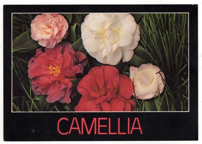 Camellia Varieties Postcard   Charles and Joann Jordan Photo