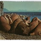 "Walrus on Round Island Postcard photo Dr. Edward Bach ""Alaska Joe"" original  1976"