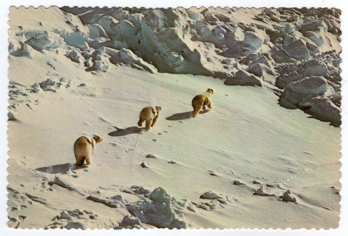 """Polar Bear Mother and Cubs Postcard photo Lee Miller """"alaska joe"""" original 1976"""