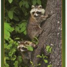 Raccoons - Animals of the Smokies - Great Smoky Mountains - APS Postcard Photo Alan Carey