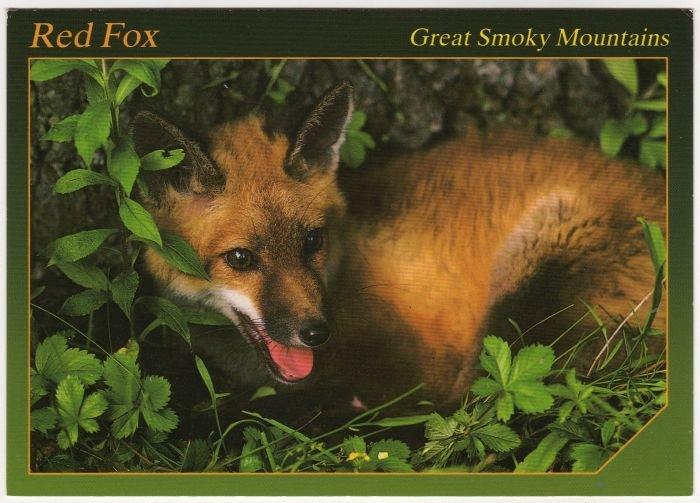 Red Fox - Animals of the Smokies - Great Smoky Mountains - APS Postcard  Photo Alan Carey