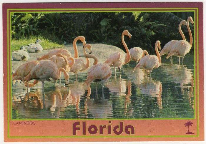 Florida Pink Flamingos Postcard Photo by Werner J. Bertesh Scenic Florida Dist FL FLA  #0530