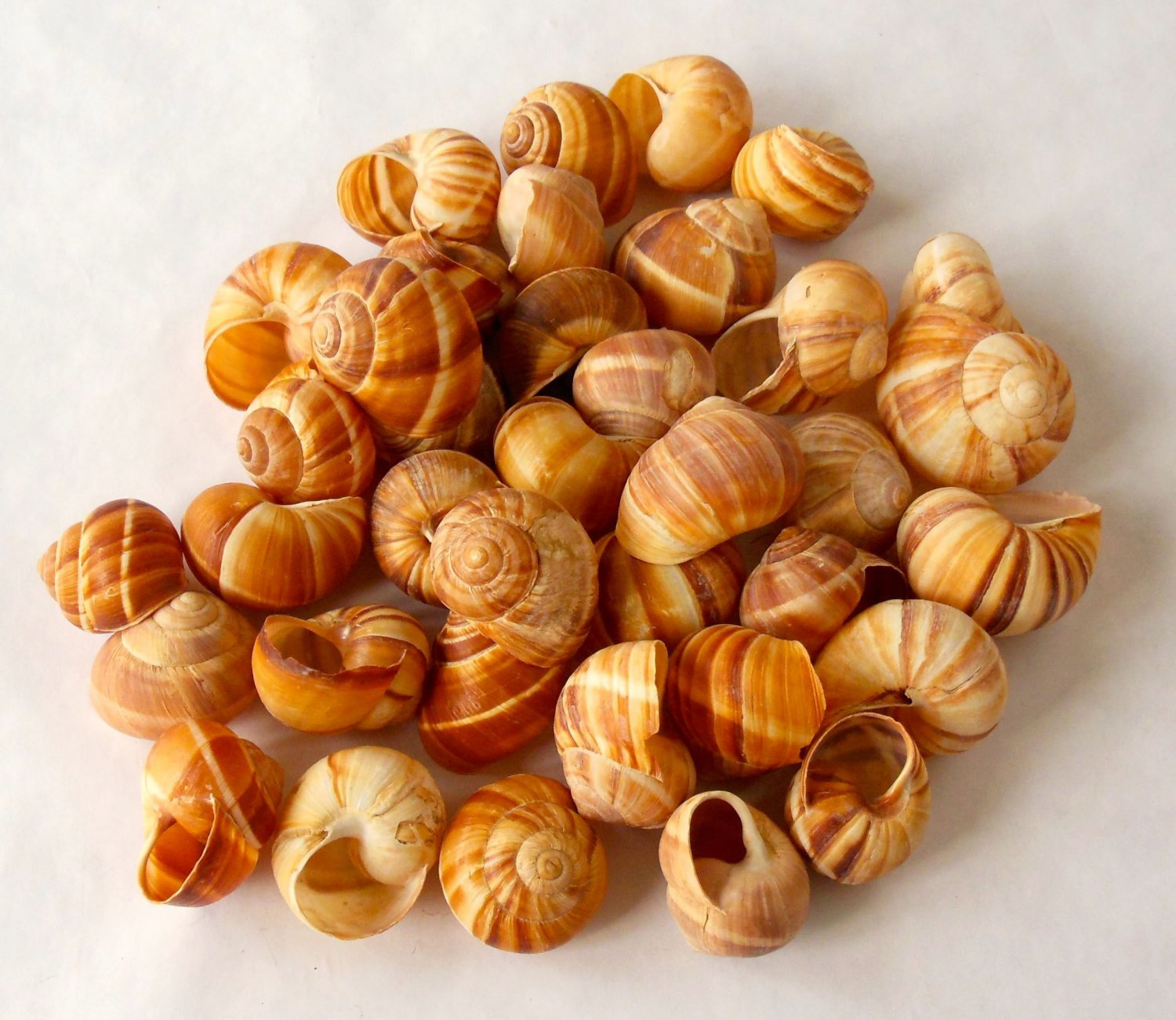 how to clean snail shells for escargot