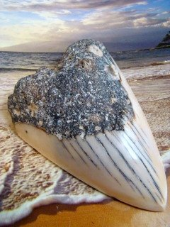 "SOUTH PACIFIC 3 3/4""  "" MEGALODON ""  FOSSIL SHARK TOOTH  RARE  - NEW CALEDONIA  - POLISHED TOOTH"