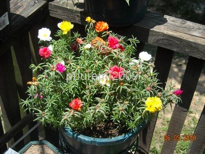 Moss Rose, Mixed Colors - 100 seeds
