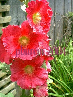 Hollyhock, Mixed - 100 seeds