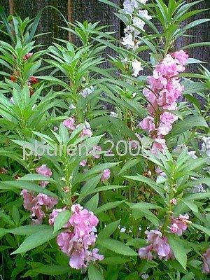 Garden Balsam, 100 seeds