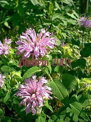 Wild Bergamot, 100 seeds