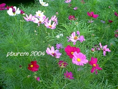 Cosmos, 250 seeds