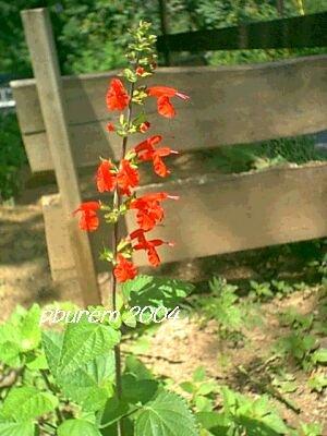 Scarlet Sage, 200 seeds