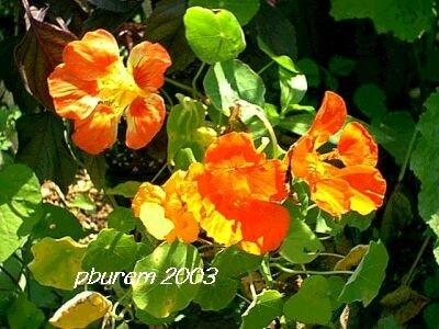 Nasturtium, 25 seeds edible flowers