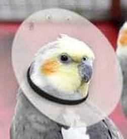 """Elizabethan Bird Collar 10"""" (large)"""
