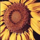 Sunflower Giant Giclee Art Print 12x16