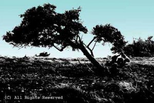 Survival Oak BWHC Giclee Art Print 12x16