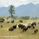 Buffalo on the Range Giclee Art Print 12x16