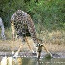Giraffe Drink Giclee Art Print 12x16